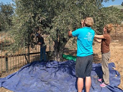 Olivenernte 2014